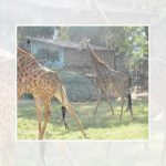Giraffe couple at Giza Zoo celebrates third anniversary