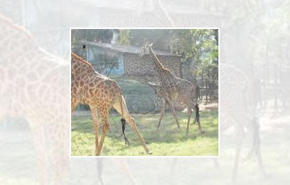 Giraffe couple at Giza Zoo celebrates third anniversary
